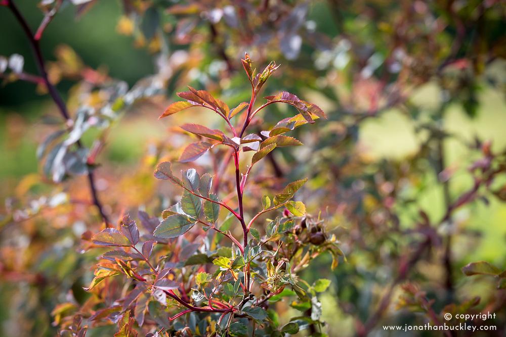 The foliage of Rosa rubrifolia syn. R.glauca, R. ferruginea  - Red-leaved rose, Redleaf rose