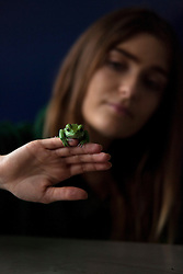 © Licensed to London News Pictures. 04/01/2012. LONDON, UK. London Zoo keeper Sarah Dempsey holds a waxy tree frog as part of the zoo's annual stock take today (04/01/12). There are more than 18,000 animals taking up residence at the Regent's Park site, and zookeepers have to make sure each and everyone is accounted for during the check. Photo credit: Matt Cetti-Roberts/LNP
