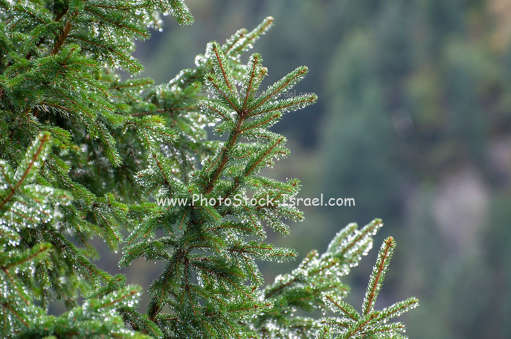 Close up of due covered, needle shaped Fir leafs. Photographed in Stubaital, Tyrol, Austria in September