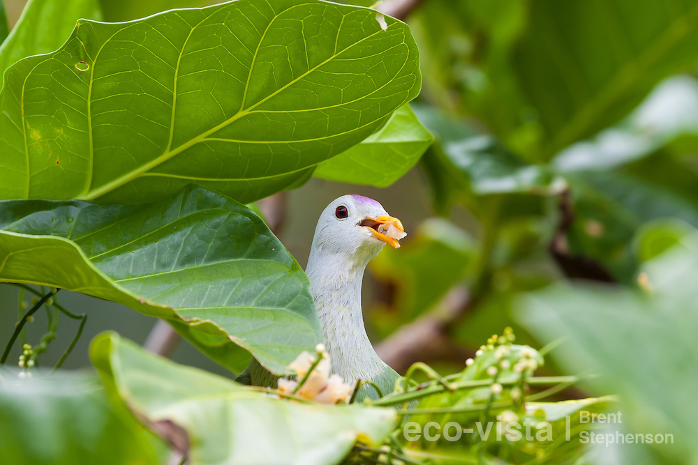 Atoll fruit-dove (Ptilinopus coralensis) feeding on fruit with its bill open, peering out from amongst the foliage. Takapoto, Tuamotus, French Polynesia. November. Near threatened.