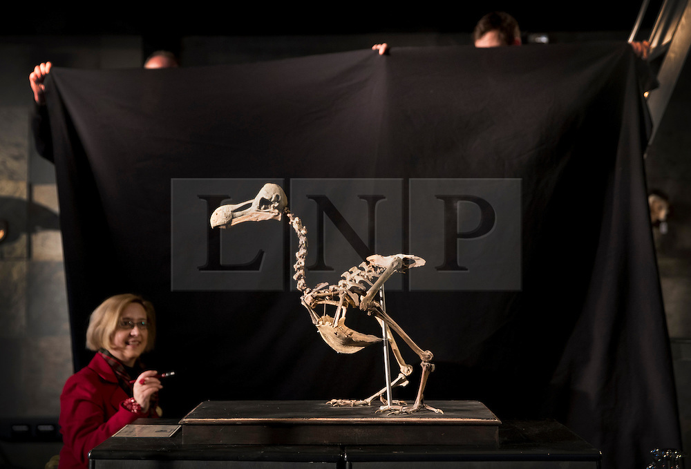 © Licensed to London News Pictures. 17/11/2016. Billingshurst, UK. Silke Lohmann (L) and other staff prepare a rare dodo skeleton for display at Summers Place Auctions ahead of it's sale in their 'Evolution' Auction taking place on November 22, 2016.   Photo credit: Peter Macdiarmid/LNP