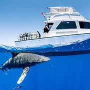 Oceanic whitetip shark (Carcharhinus longimanus) swimming under a tourist dive boat in The Bahamas.