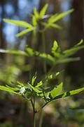 Coralroot (Dentaria bulbifera) growing on forest floor in spring, Kemeri National Park (Ķemeru Nacionālais parks), Latvia Ⓒ Davis Ulands | davisulands.com