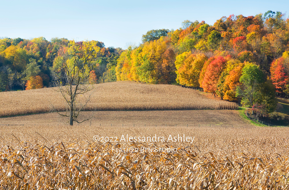 Midwestern farm scene with cornfields, gently rolling hills and autumn foliage.