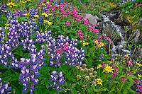 Mt. Baker Wilderness Area; Wildflowers; Heliotrope Ridge; Meadow, Lupine, Arnica, Monkeyflower, Paintbrush, Creek, Pacific NW; Washington State