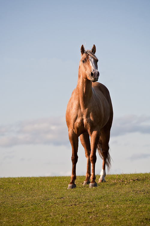 Beautiful Palomino Quarter Horse Mare in green field with dramatic blue sky.
