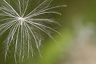 Marsh Thistle - Cirsium palustre