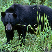 Black Bear (Ursus americanus).  A  large bear standing on the bank of a  creek during the summer.
