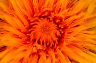 France, Languedoc Roussillon, Gard (30), Cevennes, fleur de Pissenlit, N.L. Taraxacum officinale, (Astéracées)