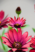flowering garden. Blooming red Gerbera flowers