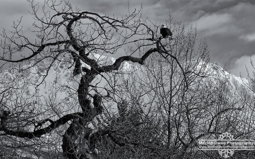 Bald eagle settles on twisted cottonwood tree in Kodiak, Alaska