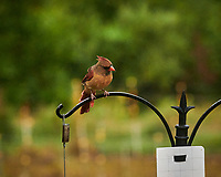 Northern Cardinal. Image taken with a Leica SL2 camera and 90-280 mm lens