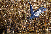 A Grey Heron (Ardea cinerea) taking off from a small lake in Izumi no Mori Park, Yamato, Kanagawa, Japan. Friday December 28th 2018