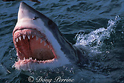great white shark, Carcharodon carcharias, gaping at surface, South Africa