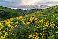 Wildflowers plaster the hillside at sunset in Utah's Albion Basin during the peak wildflower season of Summer.
