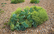 Sea Kale, crambe maritima, growing in coastal shingle beach environment, Suffolk, England
