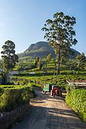 A tractor hauls a load of harvested tea leaves on a large tea plantation in Nuwara Eliya, Sri Lanka. (Aril 7, 2017)