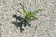 grass growing between gravel