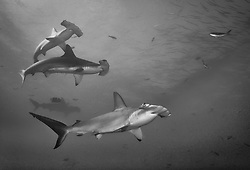 A squadron of Scalloped Hammerhead Sharks, Sphyrna lewini, cruise in mid-water. Darwin Island, Galapagos, Equador, Pacific Ocean