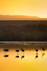 Sandhill cranes at sunrise (Grus canadensis) at Bosque del Apache National Wildlife Refuge, New Mexico, USA