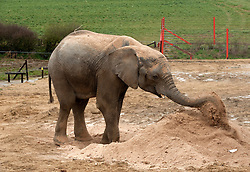 """© Licensed to London News Pictures.  03/04/2015. Wraxall, North Somerset, UK.  Jumbo playtime makes Friday good for elephants!  M'Changa a 6 year old African male elephant blows sawdust while enjoying treats such as brussel sprouts hidden in the pile of sawdust at Noah's Ark Farm Zoo on Good Friday.  Noah's Ark Zoo Farm is celebrating the first anniversary of its Elephant Eden, the largest habitat for elephants in northern Europe.  The special facility officially opened with the arrival of its first resident, African elephant Buta in early 2014. Since then, 9 year old African bull Janu and 6 year old bull M'Changa joined the project in September and November last year.  All three elephants have settled in brilliantly together and are enjoying Europe's largest 20 acre complex. The enclosure provides an impressive environment for the elephants, with plenty of space, stimulating enrichments and excellent care. Described by elephant management consultant, Alan Roocroft as a """"five star destination for elephants"""", Elephant Eden ensures the elephants happiness and long-term welfare.  Photo credit : Simon Chapman/LNP"""
