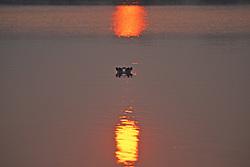 Hippopotamus In Shire River At Sunrise