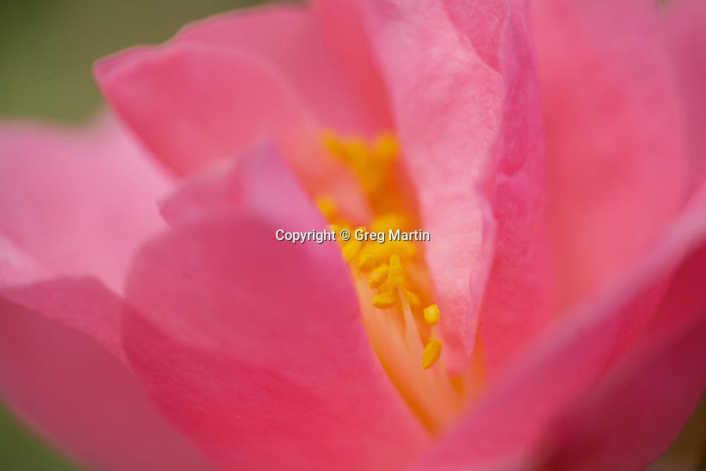 Camellia Hybrid