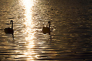 Sao Paulo_SP, Brasil...Cisne-negro (Cygnus atratus)  no lago do Parque do Ibirapuera...Black-swan (Cygnus atratus) in lake of Ibirapuera Park...Foto: MARCUS DESIMONI / NITRO