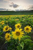 Balsamroot (Balsamorhiza deltoidea), Dalles Mountain Ranch in the Columbia Hills, Columbia River Gorge National Scenic Area, Washington