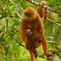 Red Leaf Monkey (Presbytis rubicunda)<br />