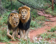 Black-maned male lions pause along game trail, clearly friends, possibly brothers, Madikwi Game Reserve, South Africa, © David A. Ponton