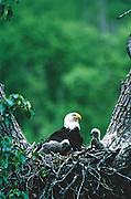 Alaska. Bald Eagle and eaglets / chicks (Haliaeetus leucocephalus) in cottonwood tree nest.