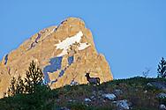 Bull Elk, Grand Tetons
