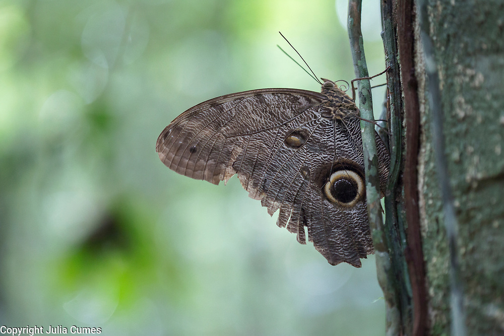 An owl butterfly rests on a tree in Peruís Amazon Jungle.