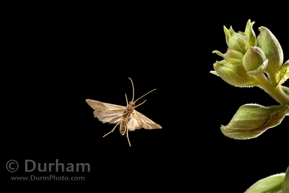 a miniature moth took his own photograph when it flew through the high-speed camera trigger on a warm night in the coastal mountains of Oregon.