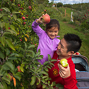 Aaron Wong lifts his daughter Kayley to pick an apple at Valley Orchard in Cherry Valley, Illinois. Nathan Lambrecht/Journal Communications