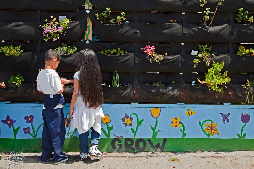 School Children learn about and tend the vertical garden at the Downtown Value School, a charter school in downtown Los Angeles. The vertical garden is provided by Woolly Pocket and is part of their Woolly School Garden program. The Woolly Pocket hangers are created from 100% recycled materials. The school also has a flower and produce garden that goes around the school grounds, a small greenhouse and a worm compost bin that students collect for after each meal. Los Angeles, California, USA