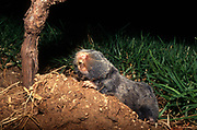 The Middle East blind mole-rat or Palestine mole-rat (Spalax ehrenbergi) (also known as Nannospalax ehrenbergi) is a species of rodent in the family Spalacidae