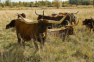 Longhorn Cattle, cows and calves