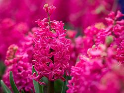 Hyacinthus orientalis 'Jan Bos' AGM