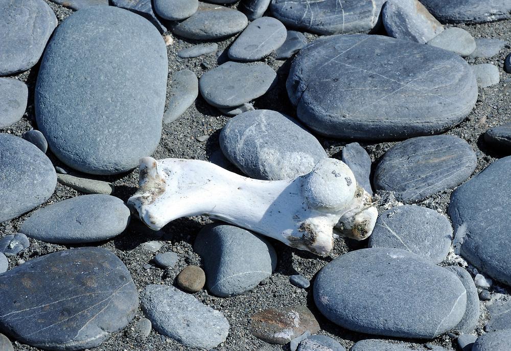 A seal limb bone lies on the on the smooth pebbles on the beach below Salisbury Plain. Salisbury Plain, Bay of Isles, South Georgia. 19Feb16