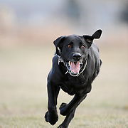 Bailey the black lab running to fetch a tennis ball. Montana