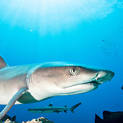 Whitetip reef shark (Triaenodon obesus) portrait, Kimbe Bay, Papua New Guinea.