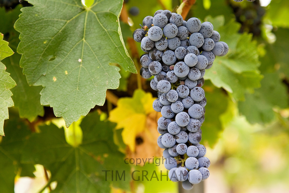Cabernet Sauvignon grapes grow in the Pepper Tree Winery, Hunter Valley, Australia