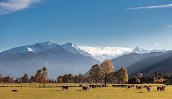 THEMENBILD - Kühe grasen auf einer Weide mit Blick auf den Gletscher Kitzsteinhorn und den umliegenden Bergen in herbstlichen Farben, aufgenommen am 12. Oktober 2015, Maishofen, Österreich // Cows grazing on a meadow with a view on the Kitzsteinhorn glacier and the surrounding mountains in autumn colors, Maishofen, Austria on 2015/10/12. EXPA Pictures © 2015, PhotoCredit: EXPA/ JFK