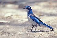 Island Scrub-Jay - Aphelocoma insularis