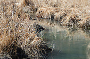 Last year's marsh grasses line a slow-moving stream in early spring, Acadia National Park, Maine.