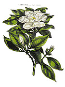 Gardenia, Cape Jasmine [Here as Cape Jasmin], from Vol 1 of the book The universal herbal : or botanical, medical and agricultural dictionary : containing an account of all known plants in the world, arranged according to the Linnean system. Specifying the uses to which they are or may be applied By Thomas Green,  Published in 1816 by Nuttall, Fisher & Co. in Liverpool and Printed at the Caxton Press by H. Fisher