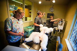 Standard poodle being prepared for keyhole surgery at Rushcliffe Veterinary Surgery, Nottingham, UK.