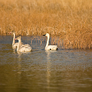 © 2007 Randy Vanderveen, all rights reserved.Jasper, Alberta.Tundra swans, both adult and some immature cygnets from this year, swim along the water of a slough in Jasper National Park before taking flight to continue their migration to winter grounds in the U.S.
